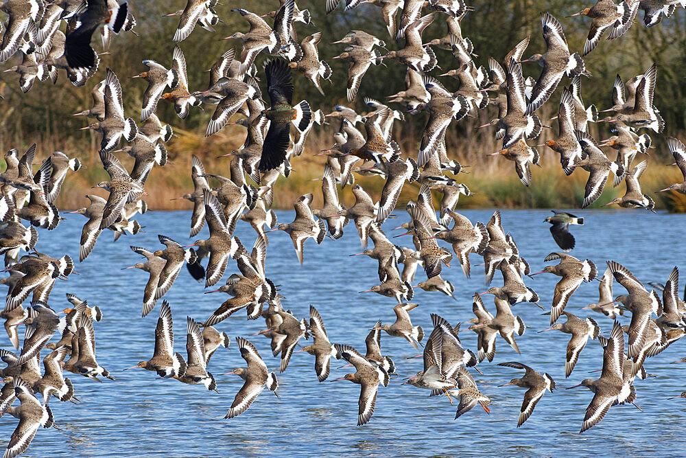 Black-tailed godwit (Limosa limosa) flock flying low over a shallow lake, Gloucestershire, UK, February. - 989-430