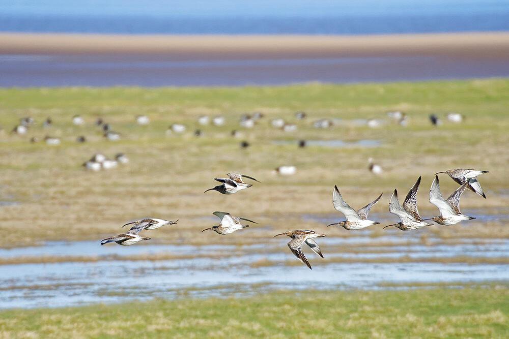 Curlew (Numenius arquata) group flying over salt marsh bordering the River Severn estuary, Gloucestershire, UK, February. - 989-431