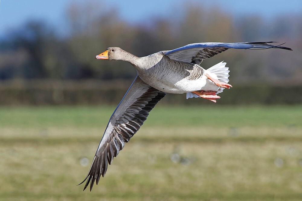 Greylag goose (Anser anser) flying over marshy pastureland, Gloucestershire, UK, February. - 989-432