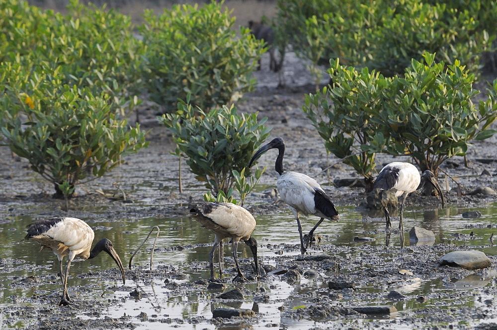 Flock of feral (escaped) sacred ibis (Threskiornis aethiopicus) foraging on mangrove swamp mudflats, Guandu, Taiwan, Asia