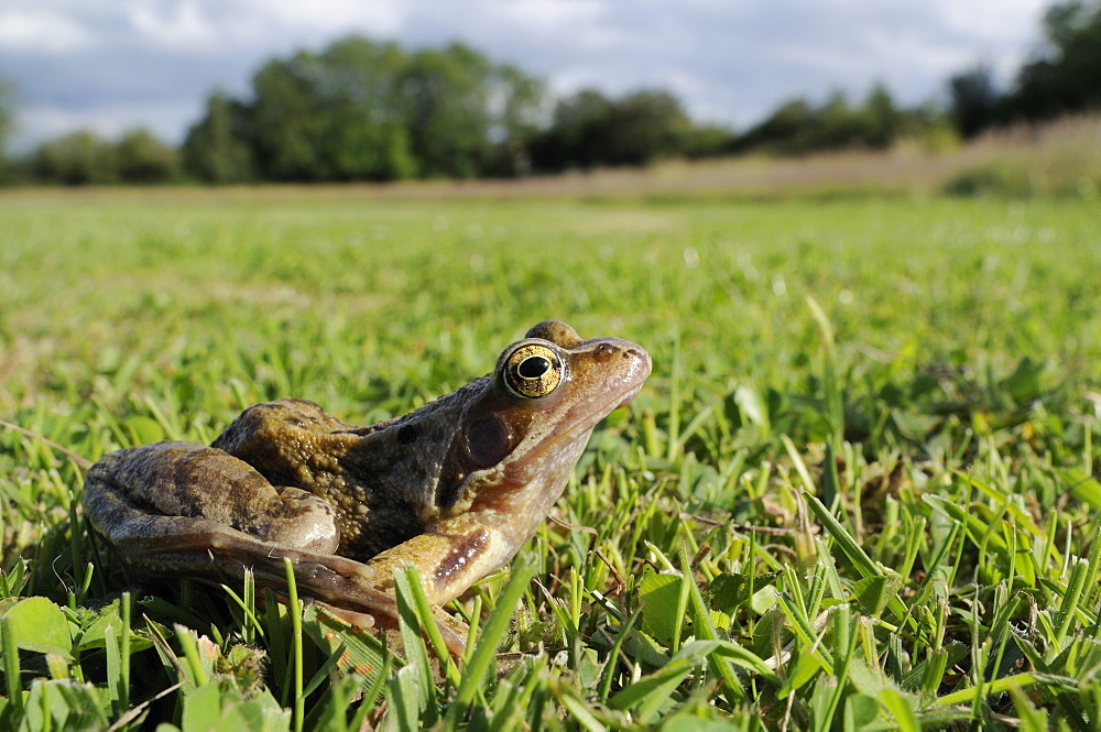 Common frog (grass frog) (Rana temporaria) in damp meadow, Wiltshire, England, United Kingdom, Europe