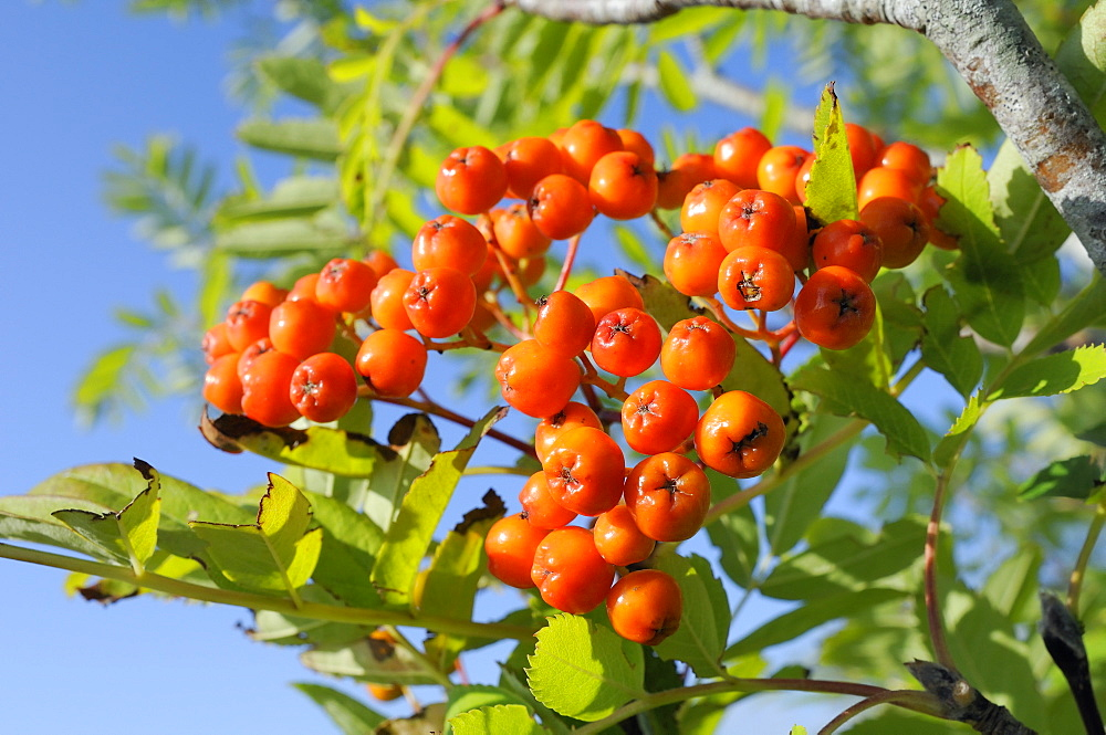 Rowan (mountain ash) (Sorbus aucuparia) berry cluster, Wiltshire, England, United Kingdom, Europe