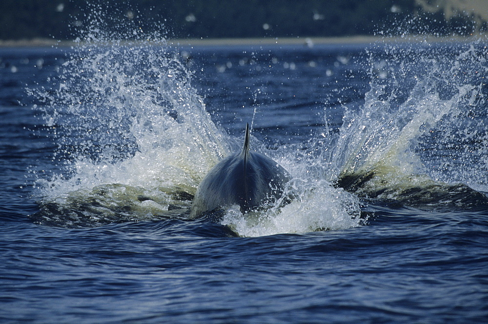 The result of a strong head slap of a Minke whale (Balaenoptera acutorostrata). Such a splash supposedly scares shoaling fish that are known to cluster when threatened. St. Lawrence estuary, Canada - 990-151