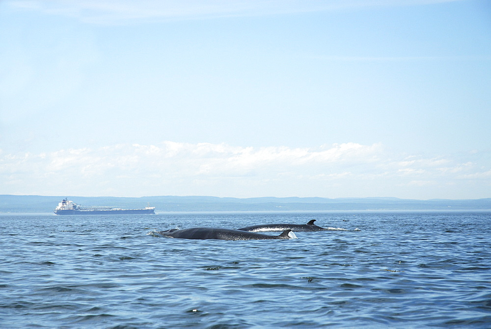 Two Minke whales (Balaenoptera acutorostrata) surfacing as a pair. Whales migrating to the St. Lawrence estuary, Canada, have to share their summer feeding ground with numerous freighters along the international seaway which connects Quebec City with the Atlantic ocean. - 990-152