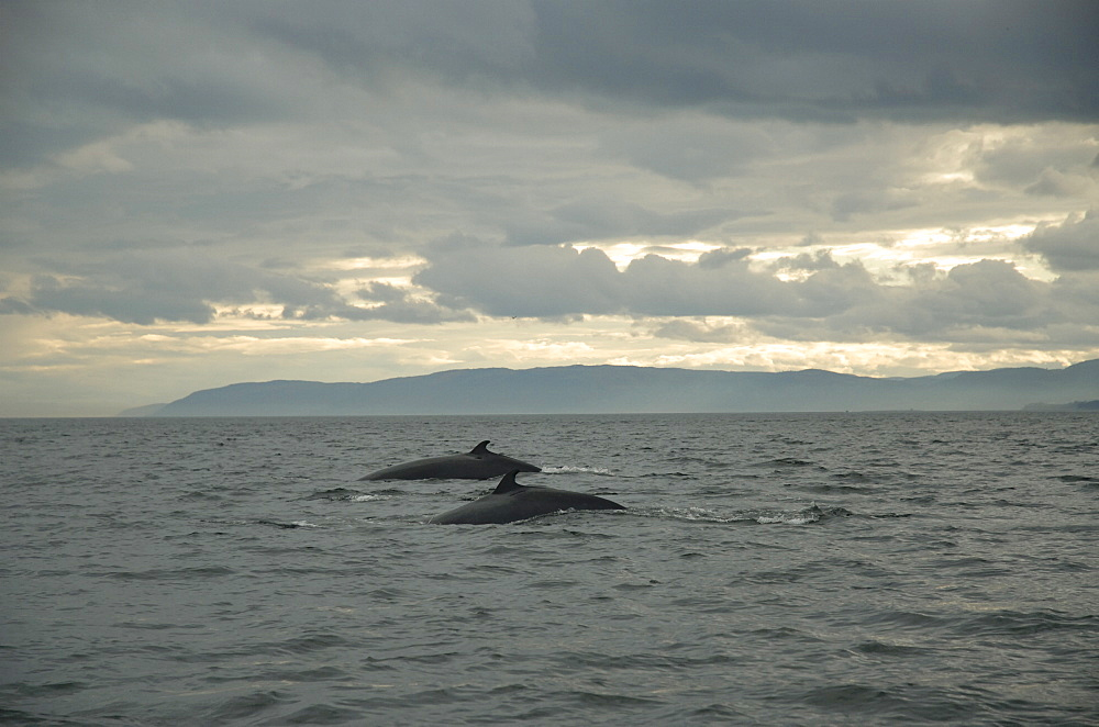Although largely solitary animals, certain individual Minke whales (Balaenoptera acutorostrata) of the St. Lawrence estuary, Canada, have started to form pairs in recent years. Reasons for this are not yet well understood. - 990-153