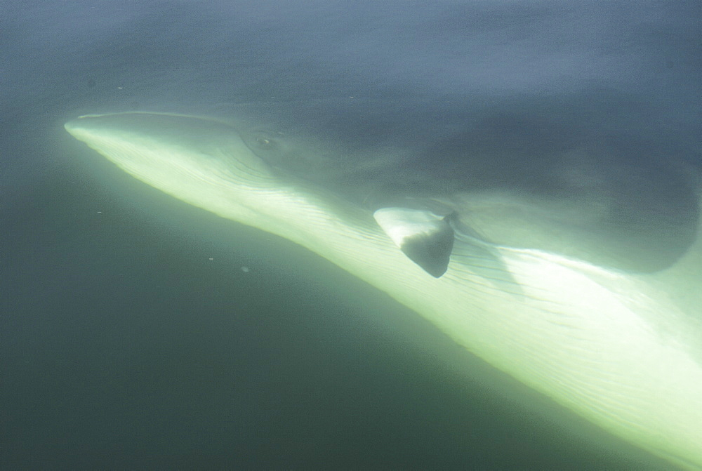 She canÃŒt be more trusting than that. A curious Minke whale (Balaenoptera acutorostrata) has turned upside down exposing her white belly, navel and genital slits to the photographer. St. Lawrence estuary, Canada - 990-163