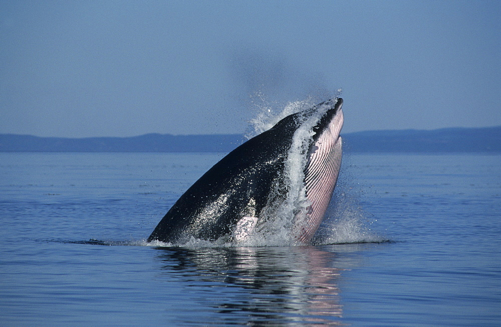 Oblique lunge of a Minke whale (Balaenoptera acutorostrata) named Crowsfoot who has performed all feeding manoeuvre types known from the St. Lawrence estuary, Canada - 990-165