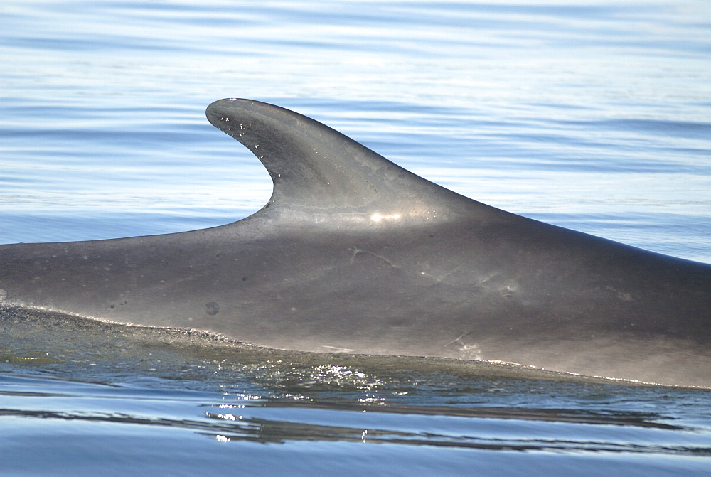 Tall dorsal fin of a Finback whale (Balaenoptera physalus) which is located far back along the dorsal ridge. This prominent feature is often used for identification. St. Lawrence estuary, Canada