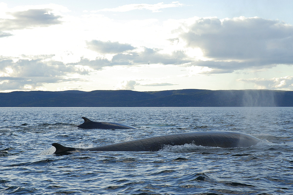 Finback whale (Balaenoptera physalus) might be seen alone or in pairs but often form groups of more than a dozen animals in order to hunt fish. St. Lawrence estuary, Canada   (RR) - 990-175