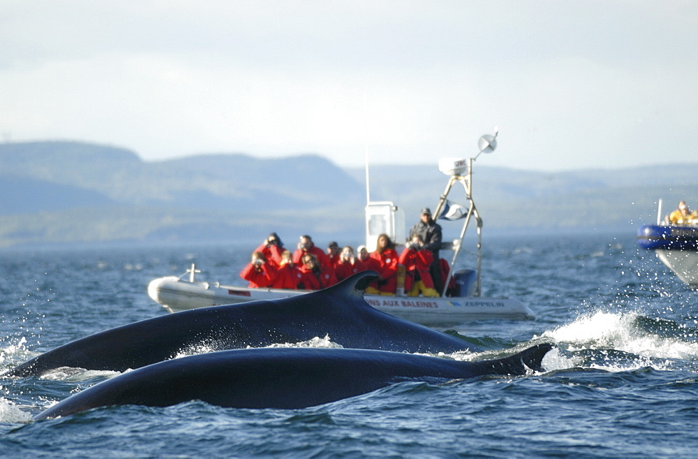 A group of Finback whales (Balaenoptera physalus) surfaces right beside two whale watching boats. St. Lawrence estuary, Canada