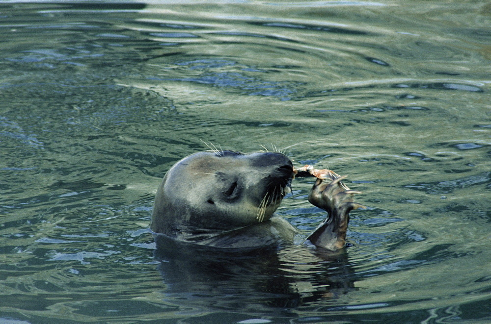 Female Atlantic grey seal (Halichoerus grypus) using its claws to eat a fish. Scotland, UK. - 991-40