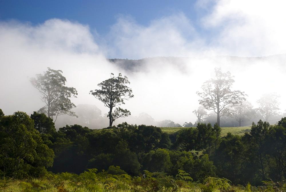 Early morning mist on farming land, Eucalyptus Trees, Kangaroo Valley, New South Wales, Australia - 994-18