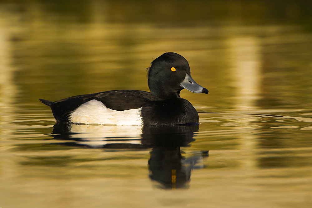 Tufted Duck (Aythya fuligula) portrait of male side on in a golden reflection on the water. The reflection is from early morning golden light bouncing of buildings surrounding the canal , Scotland