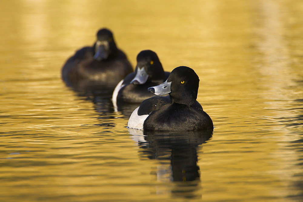 Tufted Duck (Aythya fuligula) male at head of line of 3 ducks, 2 males and a female in golden reflection on the water. The reflection is from early morning golden light bouncing of buildings surrounding the canal. , Scotland