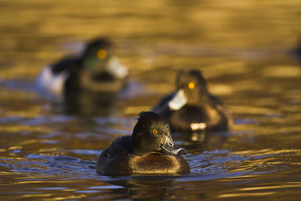 Tufted Duck (Aythya fuligula) portrait of female with 2 males following, in golden water. The reflection is from early morning golden light bouncing of buildings surrounding the canal. , Scotland