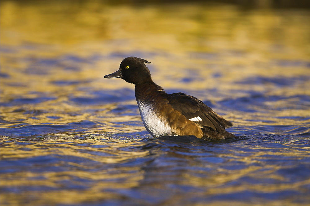 Tufted Duck (Aythya fuligula) portrait of female shaking water of body while preening in a golden reflection on the water. The reflection is from early morning golden light bouncing of buildings surrounding the canal. Scotland