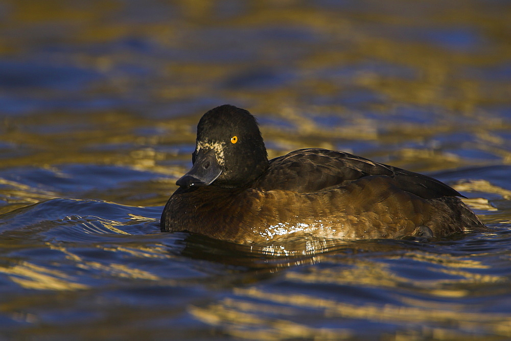Tufted Duck (Aythya fuligula) portrait of female side on in a golden reflection on the water. The reflection is from early morning golden light bouncing of buildings surrounding the canal, Scotland