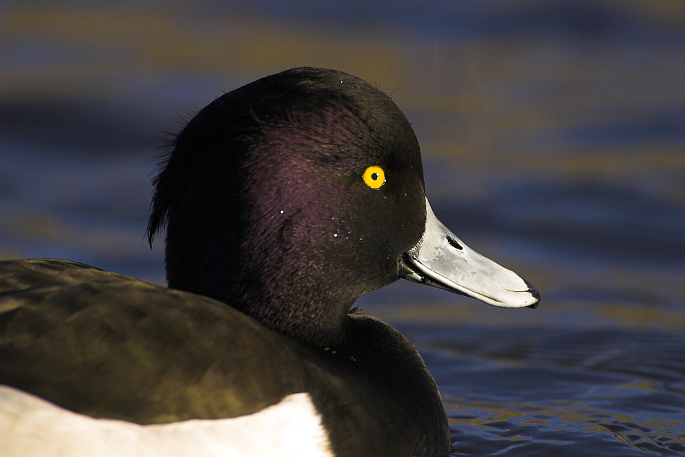 Tufted Duck (Aythya fuligula) close up portrait of male head with blue water in background, duck looks like he is smiling.  Scotland - 995-129