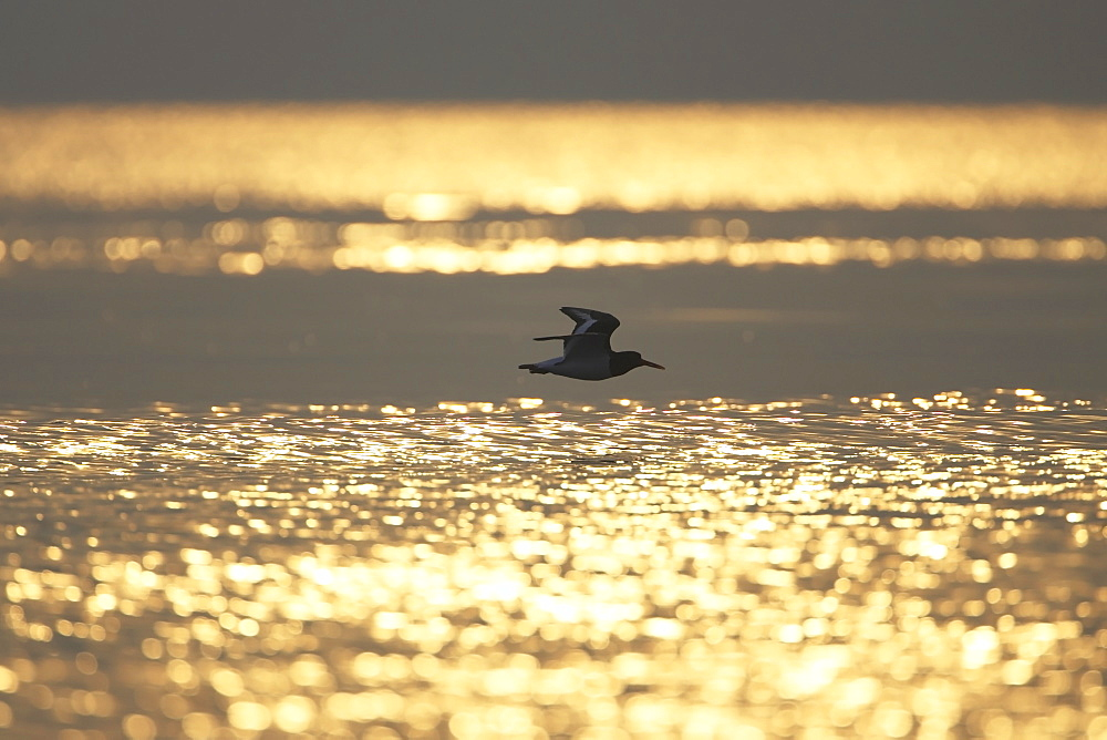 Oystercatcher (Haematopus ostralegus) flying, silhouetted against sunrise reflected in water Argyll Scotland, UK - 995-153