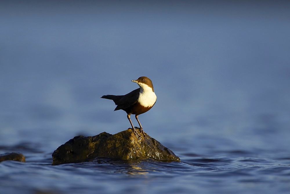 Dipper (Cinclus cinclus) perched on rock bathed in late evening light, blue water background. , Argyll, Scotland, UK