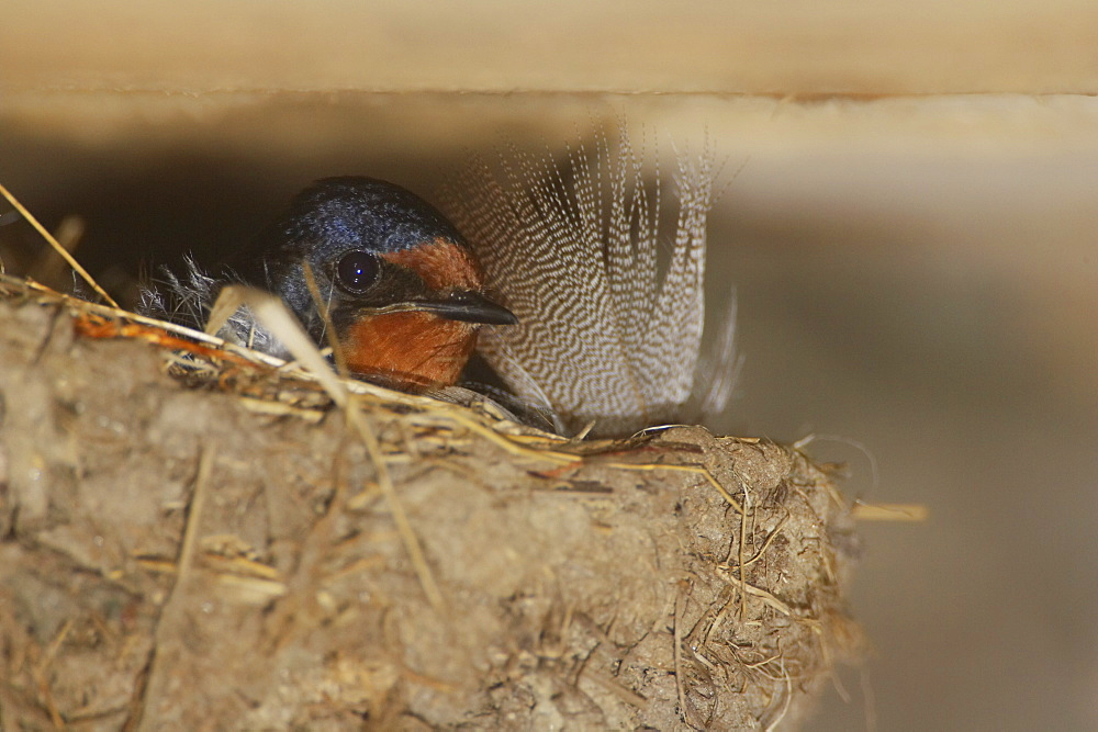 Swallow (Hirundo rustica) sitting on nest. Loch Awe, Argyll, Scotland, UK