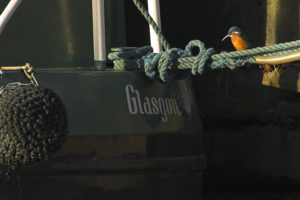 Kingfisher (Alcedo atthis) on rope looking into water next to boat with name Glasgow visible. Picture taken in Maryhill on the canal overlooking the city. Kingfishers perch on anything overlooking the water looking for fish to hunt..  , Scotland - 995-228