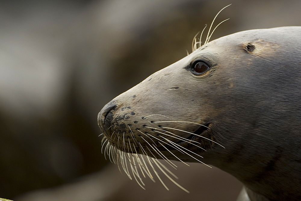 Grey Seal (Halichoerus grypus), female close up head shot with wet fur. Mull of Kintyre near Campbeltown, Argyll, Scotland, UK
