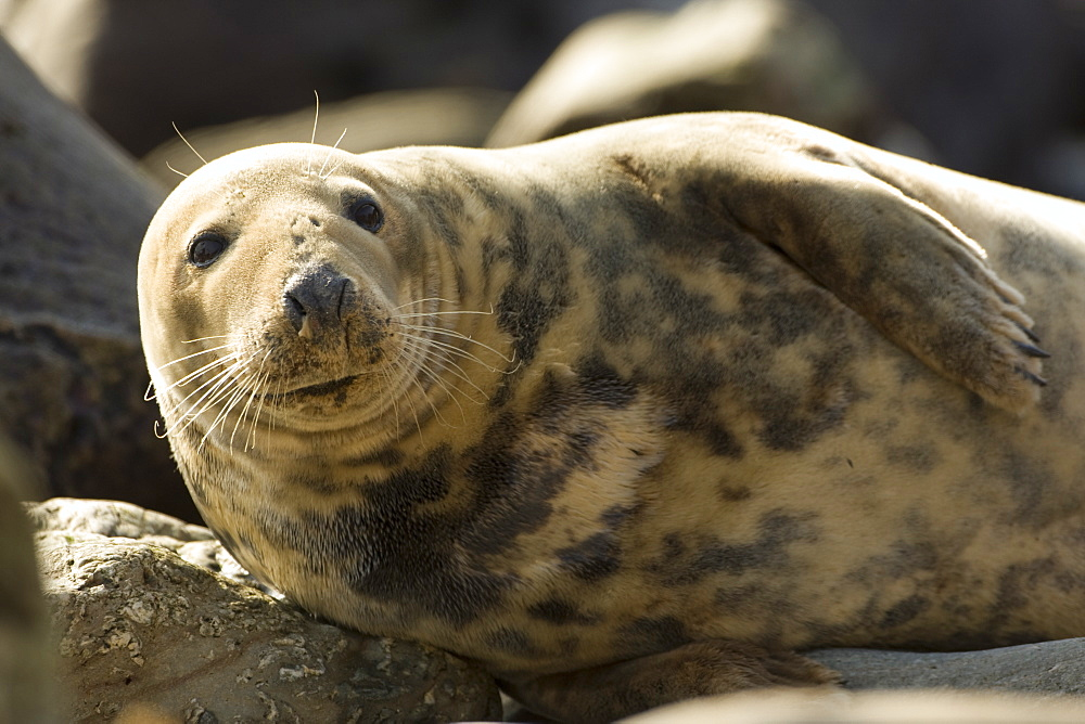 Grey Seal (Halichoerus grypus), female half body picture, lying on rocks looking up. Mull of Kintyre near Campbeltown, Argyll, Scotland, UK