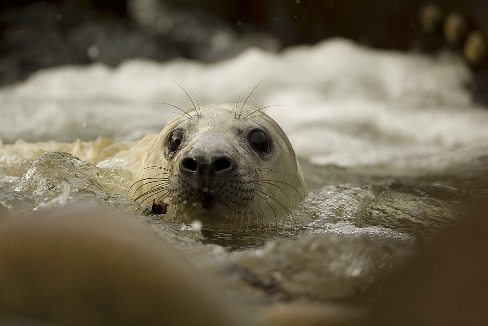 Grey Seal (Halichoerus grypus) pup playing in surf. Mull of Kintyre near Campbeltown, Argyll, Scotland, UK