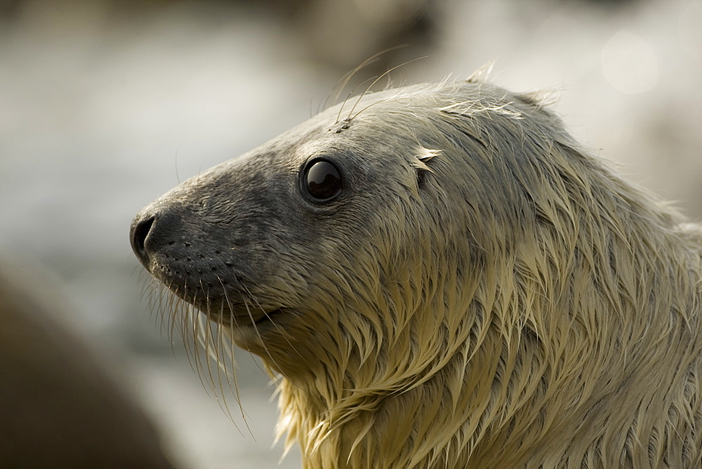 Grey Seal (Halichoerus grypus) pup portrait head shot with eyes open, taken on rocky beach in the west coast of Scotland. Mull of Kintyre near Campbeltown, Argyll, Scotland, UK