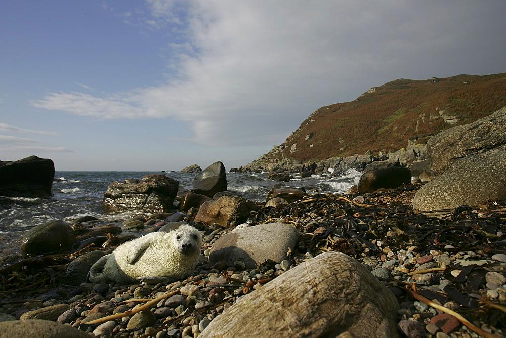 Grey Seal (Halichoerus grypus) wide angle shot with pup lying on rocky beach asleep. Mull of Kintyre near Campbeltown, Argyll, Scotland, UK
