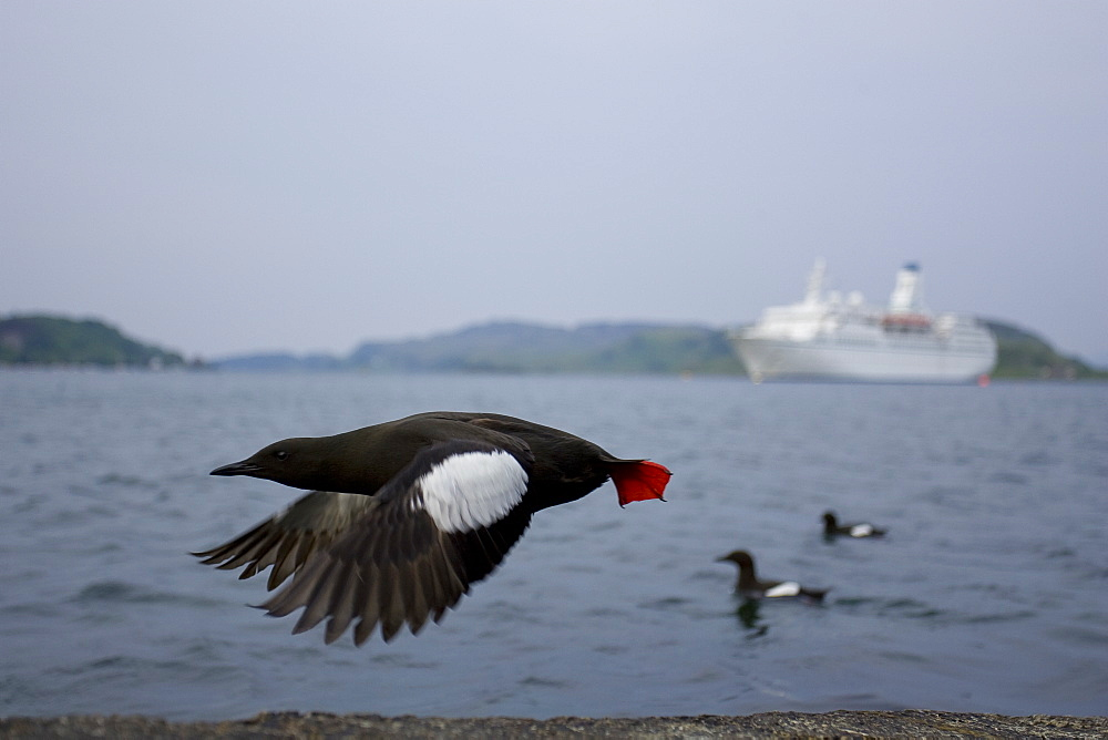Black Guillemot (Cepphus grylle) wide angle view of bird taking off with cruise liner in background and two birds swimming. Oban Bay, Argyll, Scotland, UK