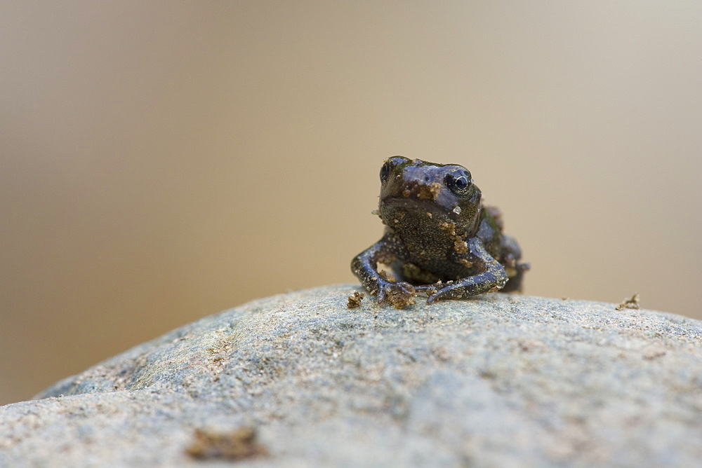 Common Toad (bufo bufo) juvenile standing on rock. Inverawe, nr Loch Awe, Argyll , Scotland, UK