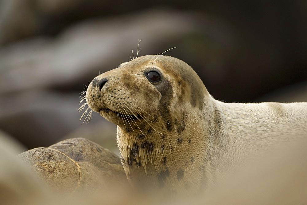 Grey Seal (Halichoerus grypus), female close up head shot with dry fur. Mull of Kintyre near Campbeltown, Argyll, Scotland, UK