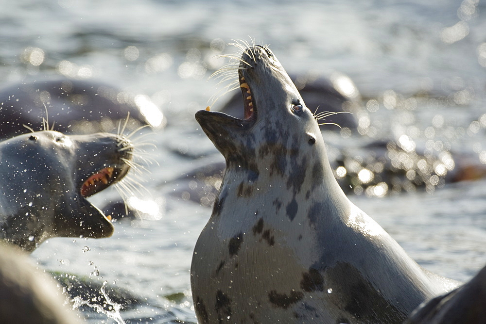 Grey Seal (Halichoerus grypus), two females fighting over territory while still in the surf.. Mull of Kintyre near Campbeltown, Argyll, Scotland, UK