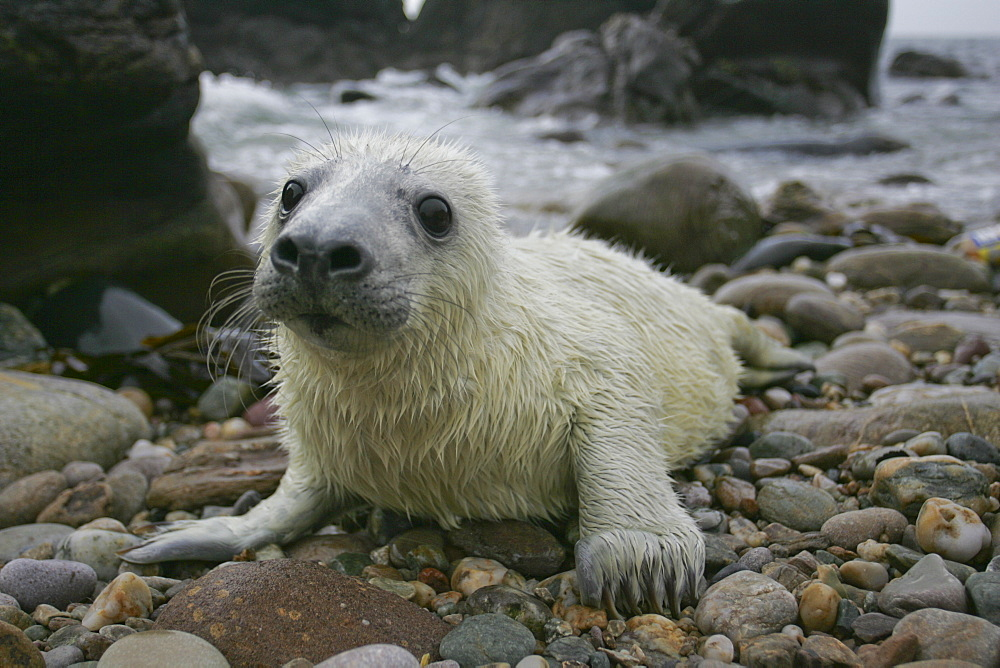 Grey Seal (Halichoerus grypus) pup portrait head shot with eyes open, taken on rocky beach in the west coast of ScotlandGrey Seal (Halichoerus grypus) wide angle shot with pup lying on rocky beach and mother in background watching. Mull of Kintyre near Campbeltown, Argyll, Scotland, UK