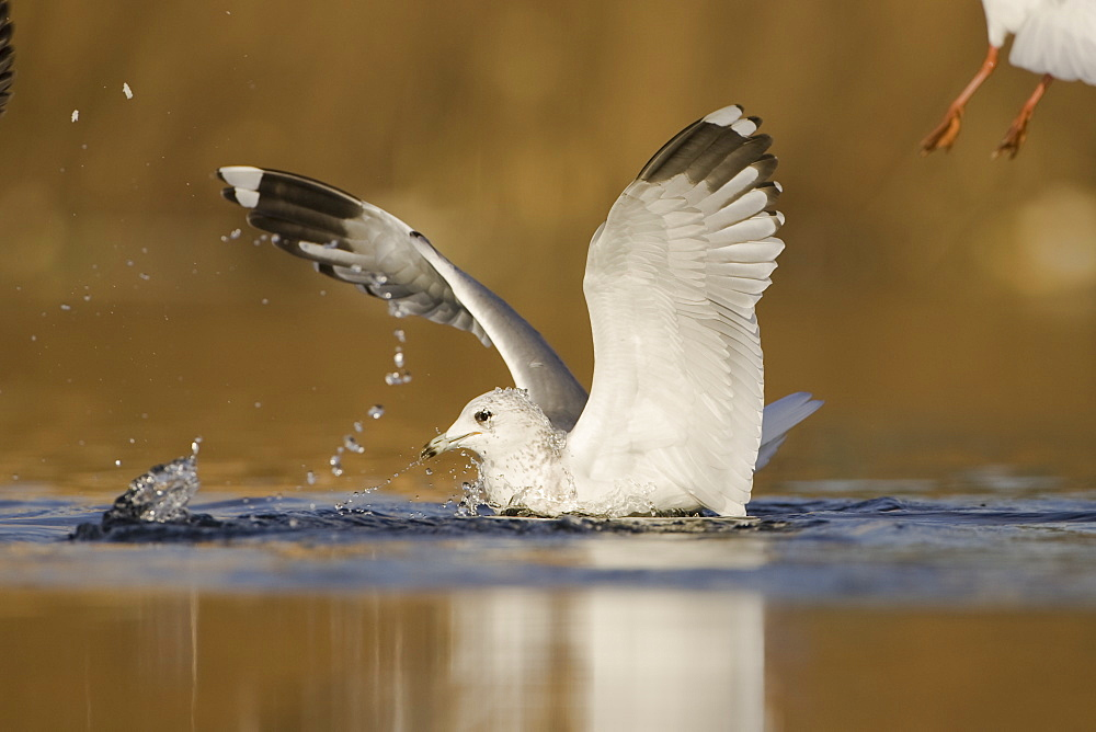 Herring Gull (Larus argentatus) juvenile taking off from pond with winter plumage . Maryhill Canal, Strathclyde, Scotland, UK