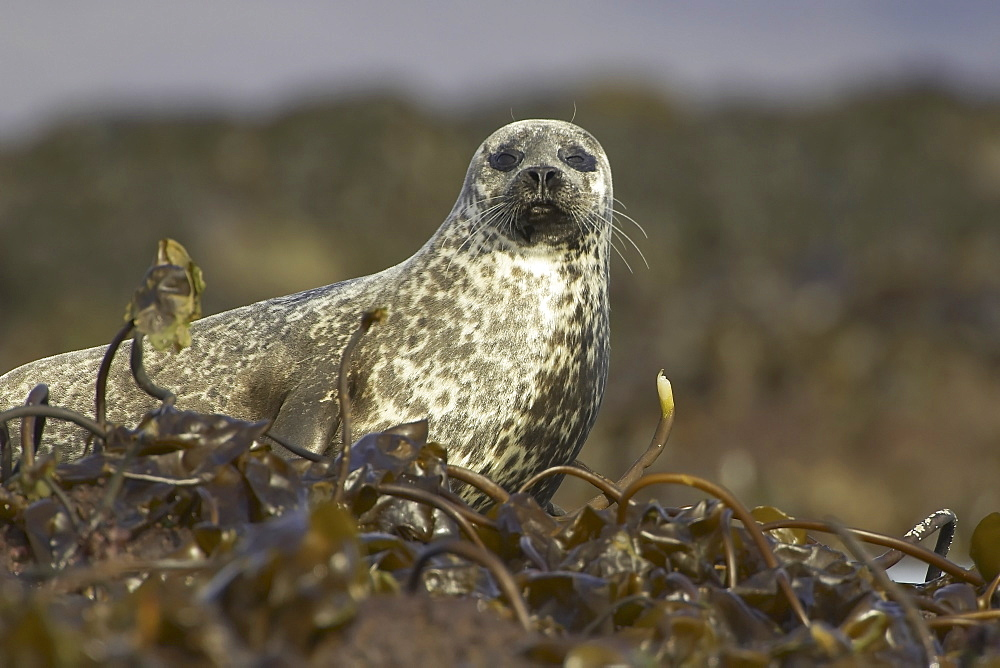 Common Seal (Phoca vitulina) in bed of seaweed on rocks. Argyll, Scotland, UK