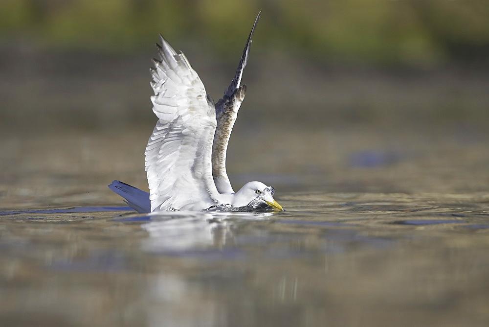Herring Gull (Larus argentatus) juvenile foraging in water looking for crabs. Oban, Argyll, Scotland, UK