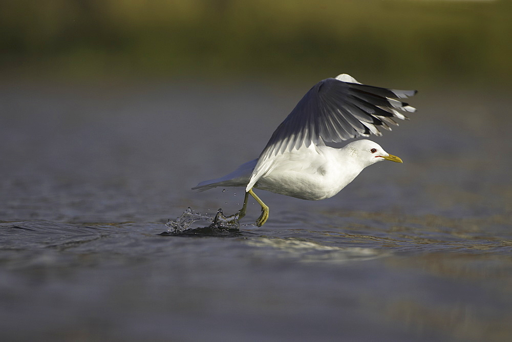 Common Gull (Larus canus) foraging in water and taking off. Oban, Argyll, Scotland, UK