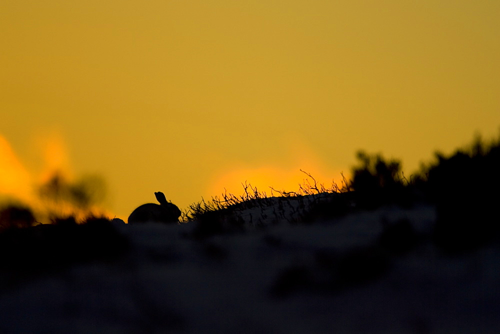 Mountain Hare (Lepus timidus) lying in heather with sun setting behind creating a silhouette . highlands, Scotland, UK