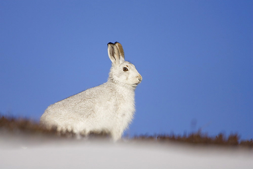 Mountain Hare (Lepus timidus) sitting up in snow with heather poking through snow. highlands, Scotland, UK