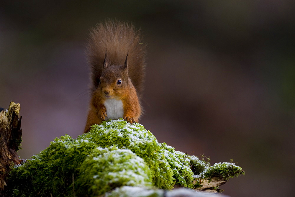 Red Squirrel (Sciurus vulgaris) sitting on mossy branch, with a snow covering some of the moss. Loch Awe, nr Oban, Scotland, UK - 995-448