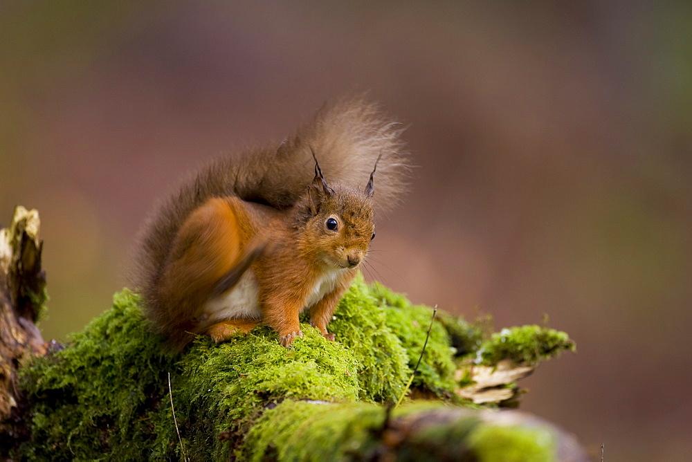 Red Squirrel (Sciurus vulgaris) sitting on mossy branch, scratching. Loch Awe, nr Oban, Scotland, UK