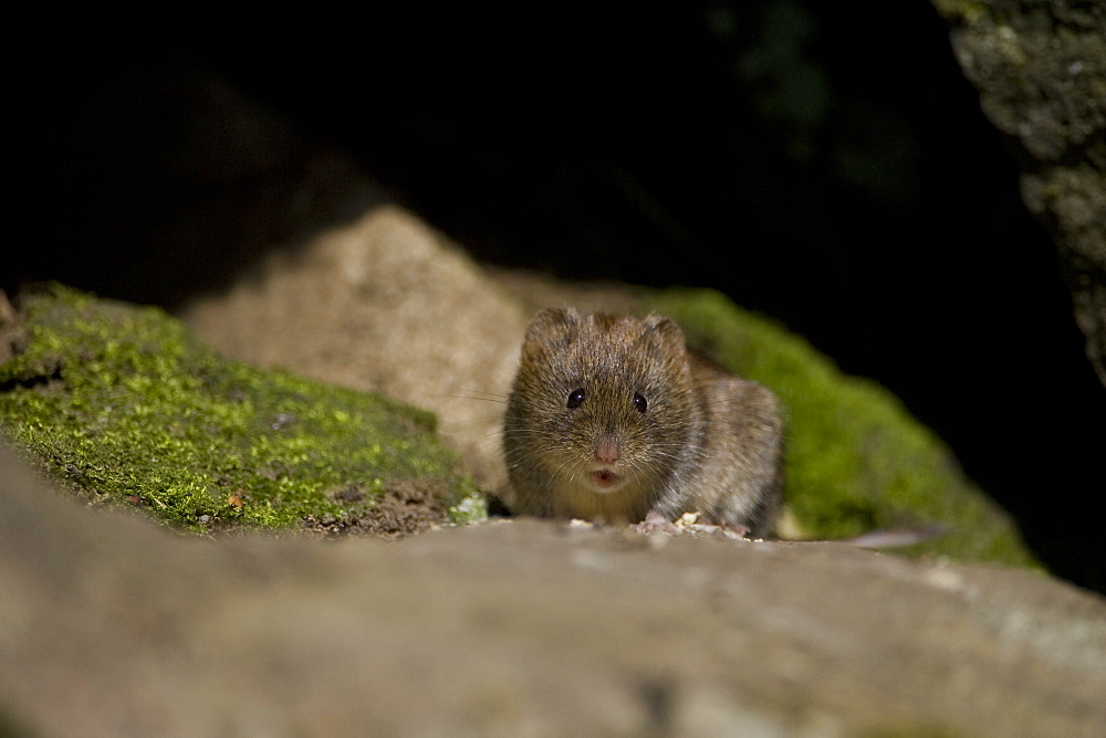 Bank Vole (Clethrionomys glareolus) looking ahead with mouth open. Argyll, Scotland, UK - 995-469