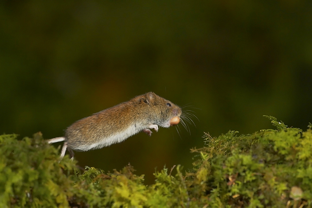 Bank Vole (Clethrionomys glareolus) running along moss covered wall, frozen in mid leap with high speed shutter speed and high speed flash, with nut in mouth. Argyll, Scotland, UK