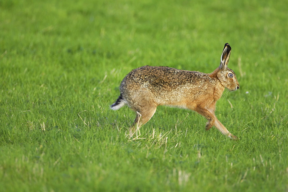 Brown Hare (Lepus capensis) running photographed mid stride in a grassy meadow. Argyll, Scotland, UK