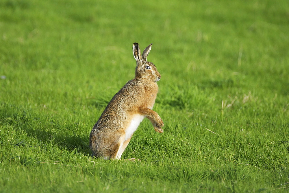 Brown Hare (Lepus capensis) boxing in a grassy meadow while standing on two legs. Argyll, Scotland, UK