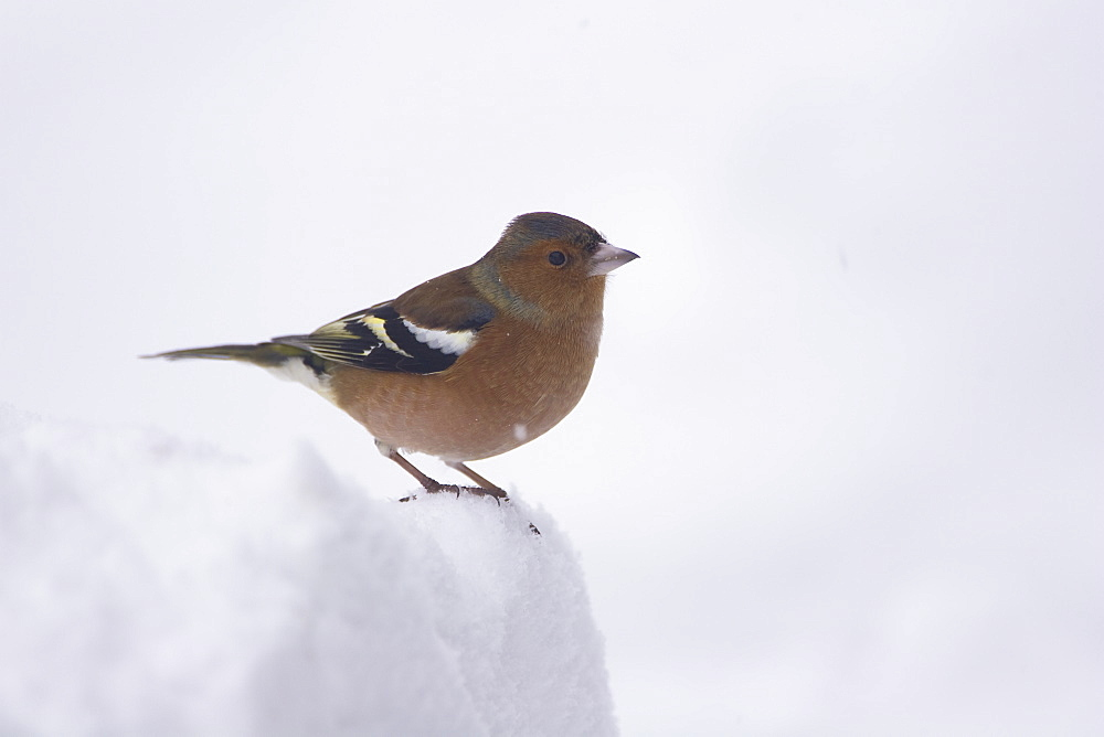 Chaffinch (Fringilla coelebs) male perched on snow. highlands, Scotland, UK