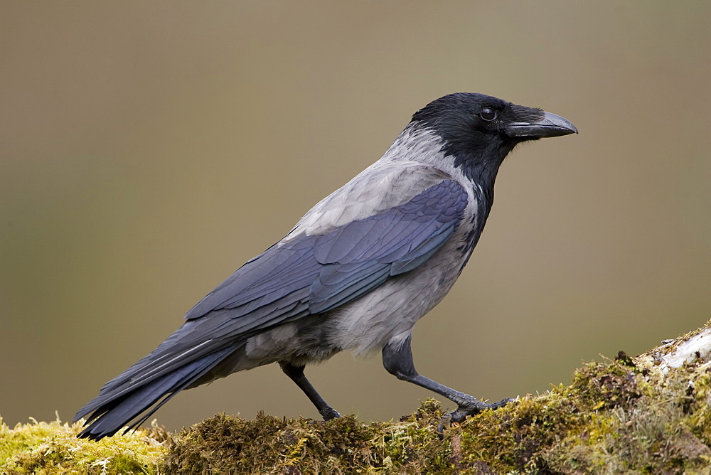Hooded Crow (Corvus corone corone) standing on grass and moss. Argyll, Scotland, UK - 995-534